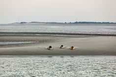 Seals at Nordby port