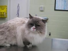 Tia is an adoptable Ragdoll Cat in Hutchinson, KS. I have been around children and do well with them. I am also litter box trained and declawed in the front. I am used to eating canned food....