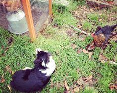 Chickens and an Australian shepherd.