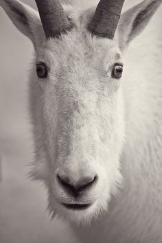 Mountain Goat by Dan Newcomb | Photography Reminds me of proportions students use to draw the human head