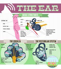 Lovely Bean — Anatomy Infographics
