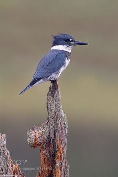 belted kingfisher by lbarlow001 #animals #animal #pet #pets #animales #animallovers #photooftheday #amazing #picoftheday