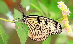 beige black butterfly