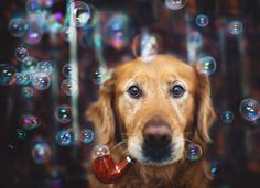 These Adorable Photos Will Always Remind Us Of Chuppy The Golden Retriever