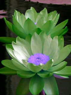 Flowers lotus