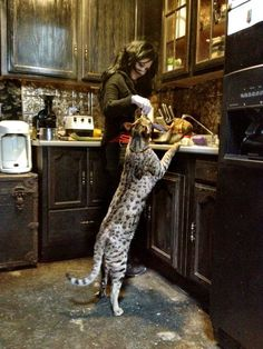 Savannah cat from the cheetah family. Omergerd I want one!!!!
