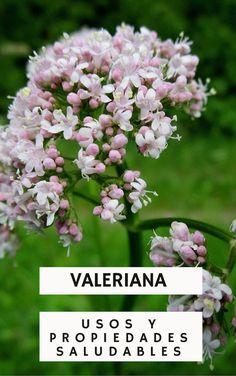 Beneficios, propiedades y usos medicinales de la valeriana.