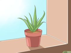 How to Care for Your Aloe Vera Plant. Aloe vera plants are native to tropical regions, but they're common household plants in a variety of climates. Caring for an aloe vera plant is simple once you know the basics. With a little effort,. Growing Tomatoes Indoors, Growing Tomato Plants, Growing Tomatoes In Containers, Grow Tomatoes, Aloevera Plante, Plantar Aloe Vera, Planting Succulents, Planting Flowers, Aloe Plant Care