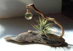 ZEN Driftwood Live Marimo Moss Ball Air Plant with Lucky by MyZen Air Ball is part of Driftwood diy - Driftwood Projects, Driftwood Art, Diy Projects, Driftwood Planters, Deco Nature, Deco Floral, Beach Crafts, Diy Crafts, Air Plants