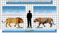 Image result for indian lion vs bengal tiger