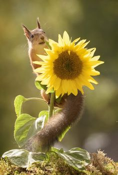 red squirrel is climbing in a sunflower Animals And Pets, Baby Animals, Cute Animals, Beautiful Creatures, Animals Beautiful, Animal Pictures, Cute Pictures, Imagen Natural, Cute Squirrel