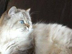 British Longhair - Femelle Seal Tabby Point - #cat #chat #britishlonghair #animal