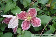 Clematis cirrhosa 'Freckles' for sale. A winter flowering evergreen clematis, with red-speckled cream flowers. Clematis Flower, Clematis Vine, Clematis Plants, Hedging Plants, Garden Plants, Clematis Cirrhosa, Evergreen Clematis, Evergreen Climbers, Cream Flowers