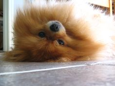 Long day for my tired pomeranian