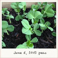 And the peas are really hanging in there
