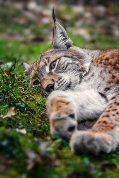 *Lynx (by Stefan Betz)