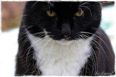 Suvikumpu Panther, Cats, Animals, Gatos, Animales, Animaux, Panthers, Animal, Cat