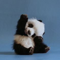 """ Panda: ""I know!"" Panda: ""I know!"" Panda: ""I know! Baby Animals Pictures, Cute Baby Animals, Animals And Pets, Baby Pandas, Panda Babies, Animal Pics, Wild Animals, Animal Fun, Animals Images"