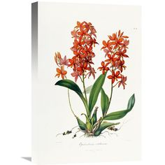 Global Gallery Star Orchid Wall Art - GCS-266778-40-142