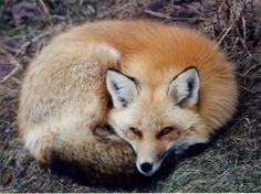 Firefox: petit renard roux ou petit panda rouge? - Les blablas de la Miss