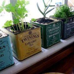 Recycler d'anciennes boites de thé pour y laisser pousser des aromates.