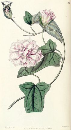 Calystegia pubescens. Edwards's Botanical Register vol. 32 (1846) [Miss Drake]