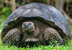 Learn all you wanted to know about Galápagos tortoises with pictures, videos, photos, facts, and news from National Geographic.