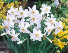 Pheasant eye narcissus This variety is over 100 years old and is of the poeticus type. It is the last variety in the garden to flower, a novelty when most Narcissi have disappeared a month earlier. Daffodil Bulbs, Daffodil Flower, Bulb Flowers, Daffodils, Spring Bulbs, Garden Shop, Yellow Eyes, Pheasant, Garden Projects