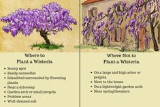 How to Plant, Prune, and Care for Wisterias Choosing a location for your wisteria is one of the most important decisions since the plant's ability to flower and be controlled depends on this factor. Wisteria Trellis, Wisteria Garden, Wisteria Plant, Wisteria Pergola, Pergola Shade, Wisteria Wedding, Succulents Garden, Garden Plants, Planting Flowers
