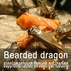 How to add supplements to your Bearded dragon's food