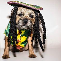 #dog #btposse #borderterrier Everyone have a good weekend mon!