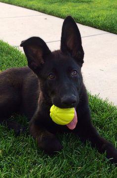 Black German Shepherd Puppy... Hopefully Jax' ears will go up soon!!