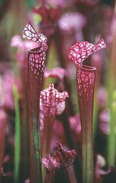 Pitcher Plants or swamp lily. Wish I could find a meaning for these. But they're insectivorous and grow in dismal places. Does that suggest one?
