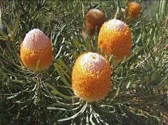 Red Banksia Hookeriana Flower | Details about Hookers Banksia (Banksia hookeriana) - 10 Seeds