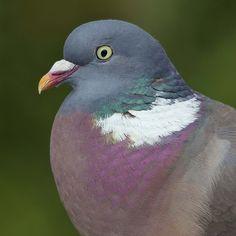 Wood pigeon detail