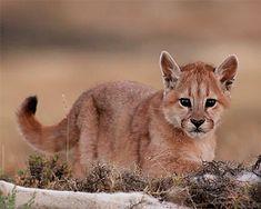 Cougar Kitten
