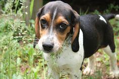my sweet beagle puppy