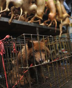 [VIDEO] Attivisti cinesi svelano l'orrore del mercato della carne di cane e gatto
