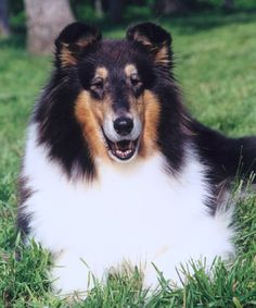Tri-color collie.  I had two of these beautiful dogs.