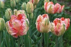 Необычные попугайные тюльпаны