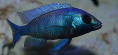 Placidachromis Gissel