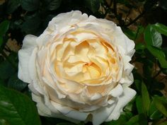 Classic Woman is one of the most sought after creamy white garden rose