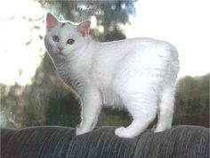 """This looks like my sister's deceased cat (RIP, Nina) who was also a white Manx with a spot on her head (Nina also had a dark spot on her """"tail"""" -- or what there was of her tail!)."""