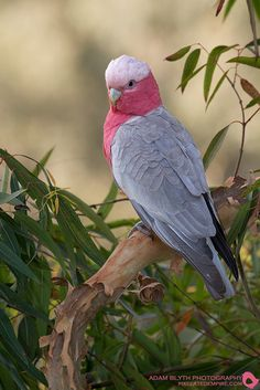 Galah Cockatoo (Eolophus roseicapilla) found in the Philippines East to the Solomon Islands and South to Australia.