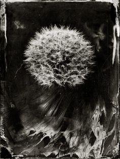 Löwenzahn, Pusteblume, Dandelion, Ambrotype, Collodion Wet Plate Photography