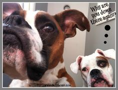curious boxers www.dailyboxer.com