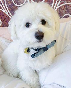 Why is it #raining... ☔️ • • • • • #dogofinstagram #ilovemypuppy #puppy #love #dog #instagram #california #ilovemydog #pet #maltipoo #maltipooofig #maltipooonly #maltilove #woof #pawz #sendadogphoto #houndandlife #californialove #friday #tgif #dogstagram #maltipoonation #baby #family #furbabies #furryanimal #poodle #maltese #socal - ollie_ababwa_