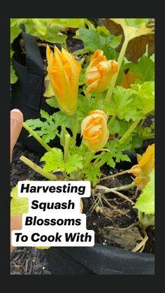 Apartment Vegetable Garden, Home Vegetable Garden, Growing Veggies, Growing Plants, Growing Zucchini, Organic Gardening, Gardening Tips, Gardening Vegetables, Planting Plan