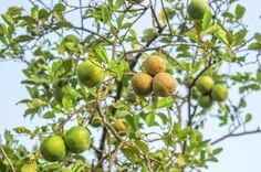 Lemon Diseases And Treatment – Tips For Treating Lemon Diseases