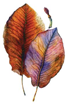 Magnolia Leaves in Autumn-Watercolor, Amber R Turner